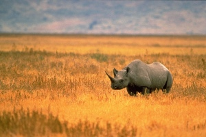 The Dallas Safari Club wants to save Black Rhinos with this auction.
